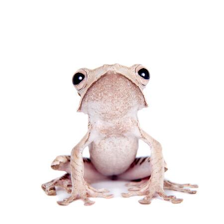treefrog: Borneo eared frog on white background