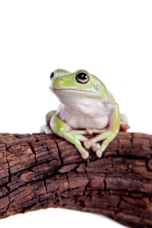 Australian Green Tree Frog on white background photo