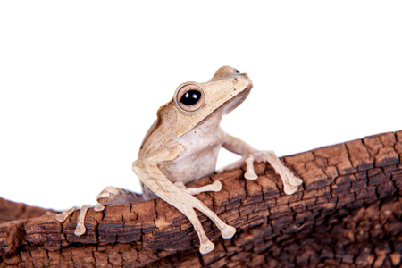 darts flying: Borneo eared frog on white background