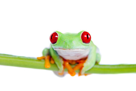 Beautiful red eyed tree frog on white background photo