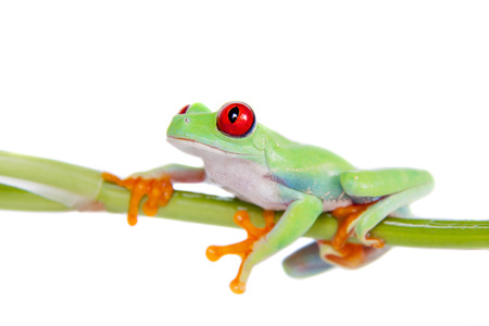 species of creeper: Beautiful red eyed tree frog on white background