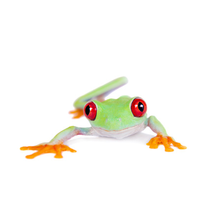 red eyed tree frog: Beautiful red eyed tree frog on white background