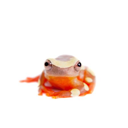 croak: Shreves Sarayacu treefrog isolated on white