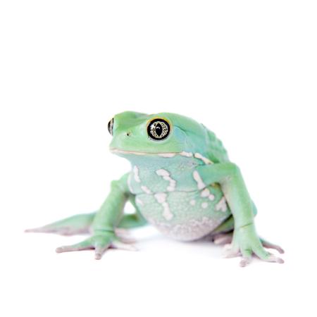 waxy: Waxy Monkey Leaf Frog on white background Stock Photo