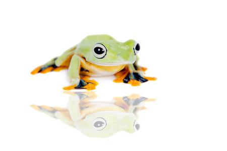 arboreal frog: Volar rana de �rbol de Reinwardt aislado en blanco