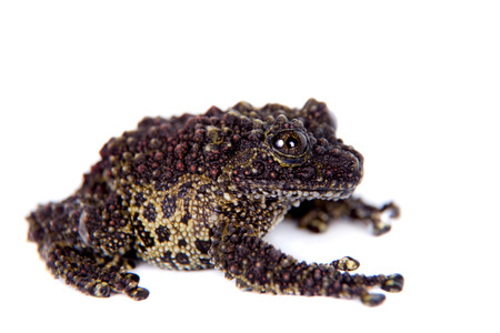 unobtrusive: Vietnamese Mossy Frog isolated on white