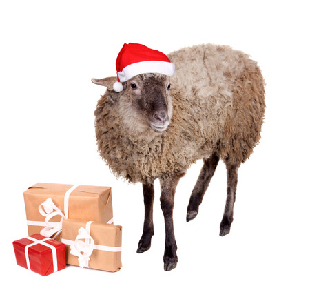 Portrait Of sheep in christmas hat Isolated On White. Simbol 2015