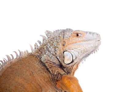 10 years old: Green Iguana, 10 years old, isolated on the white background