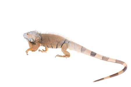 Green Iguana, 10 years old, isolated on the white background