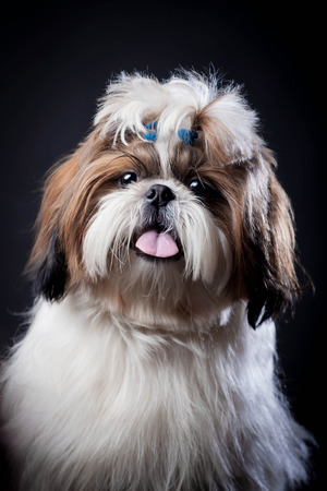 shihtzu: Shih Tzu dog on a black background