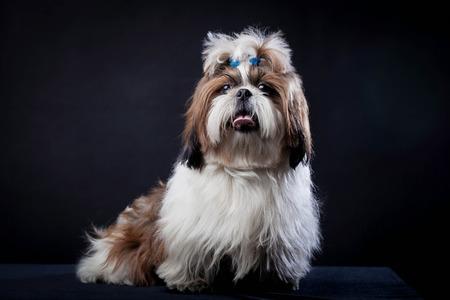shih tzu: Shih Tzu dog on a black background