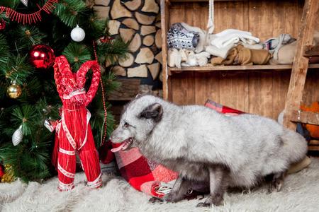 arctic fox: Polar or arctic fox, holidays, christmas, new year