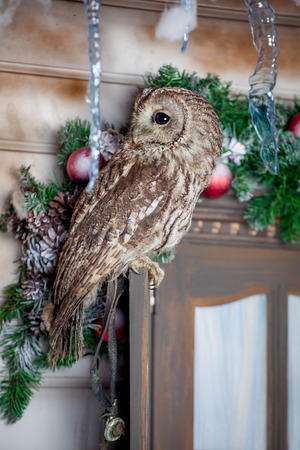 tawny owl: Tawny or Brown Owl on window. Christmas