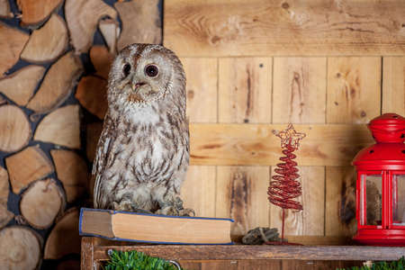 tawny owl: Tawny or Brown Owl, Strix aluco, Stock Photo