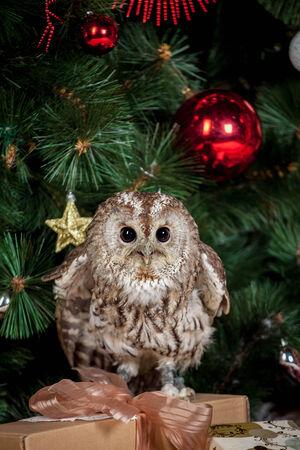 tawny: Tawny or Brown Owl, Strix aluco, Stock Photo