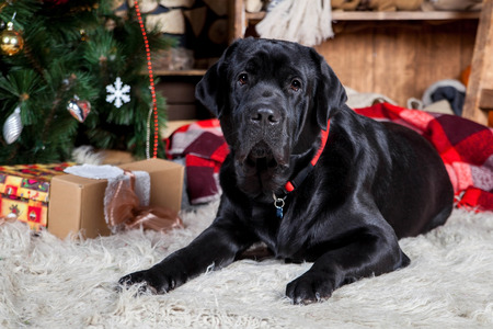 Big black labrador, holidays, christmas, new year Stock Photo