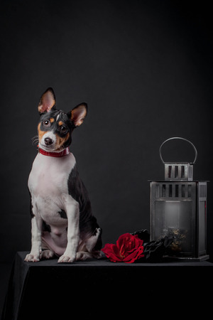 3 month: Basenji puppy, 3 month on a black background