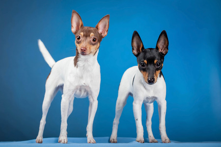 pigmy: Two toy fox terriers Stock Photo