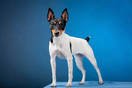 Toy fox terrier on a blue background