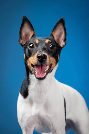 pigmy: Toy fox terrier on a blue background