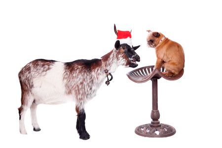 dwarf christmas: Portrait Of dwarf Goat in christmas hat On White