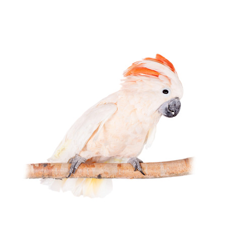The salmon-crested cockatoo on white