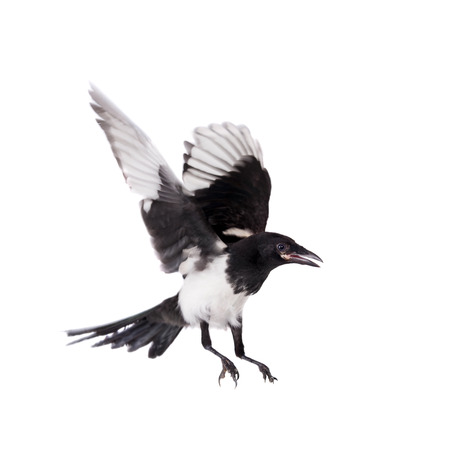 Common Magpie isolated on white Standard-Bild