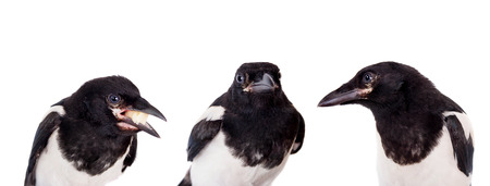 Common Magpie, Pica pica, isolated on white background photo