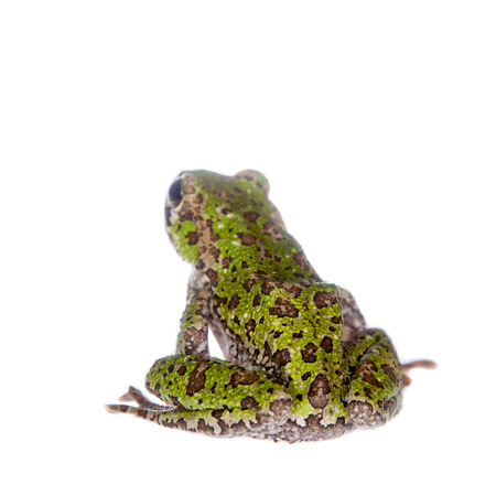 darts flying: Polypedates duboisi, rare species of frog isolated on white background Stock Photo