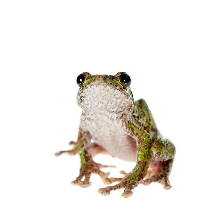 darts flying: Polypedates duboisi, rare species of frog isolated on white background Stock Photo