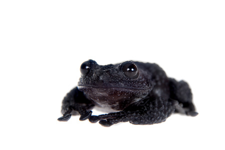 unobtrusive: Theloderma ryabovi, rare spieces of frog, black coloured isolated on white