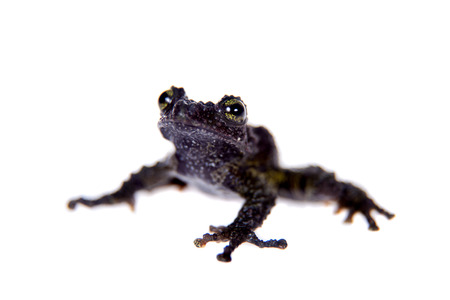 unobtrusive: Theloderma bicolor, rare spieces of frog isolated on white background Stock Photo