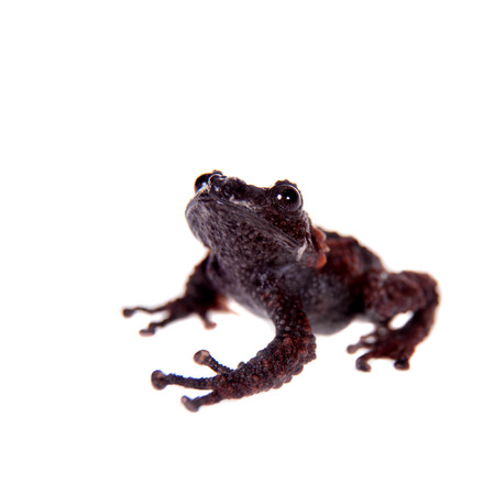 unobtrusive: Theloderma gordoni, rare spieces of frog, murrey coloured isolated on white