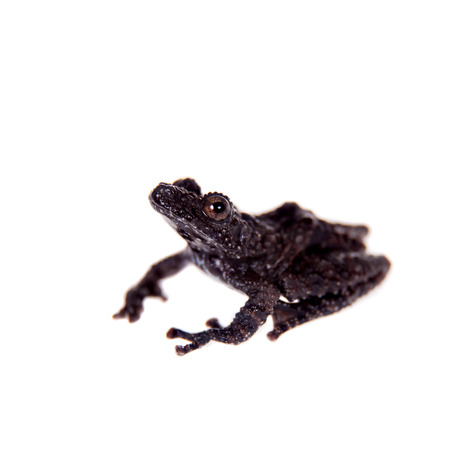 unobtrusive: Theloderma horridum, rare spieces of frog, black coloured isolated on white Stock Photo