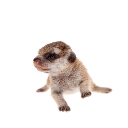suricata suricatta: The meerkat or suricate cub, Suricata suricatta, isolated on white Stock Photo