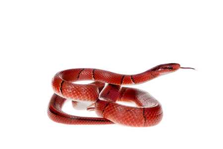 Small red bamboo snake isolated on white Reklamní fotografie
