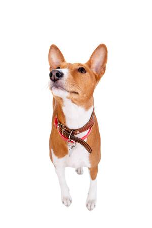 doggy position: Basenji dog, 2 years old, isolated on white