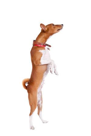2 years old: Basenji dog, 2 years old, isolated on white