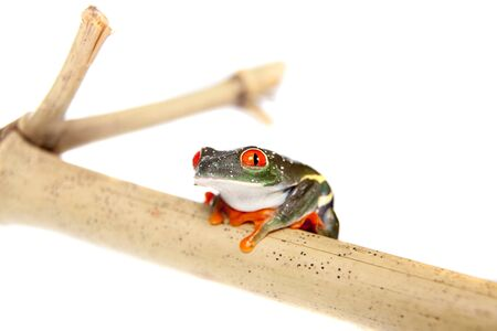 Red eyed tree frog at night on white background photo