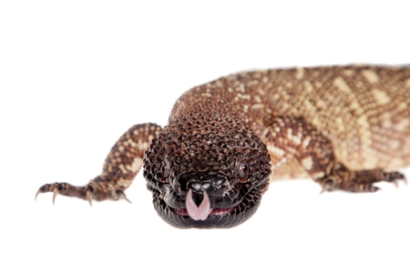 and diurnal: Venomous Beaded lizard isolated on white