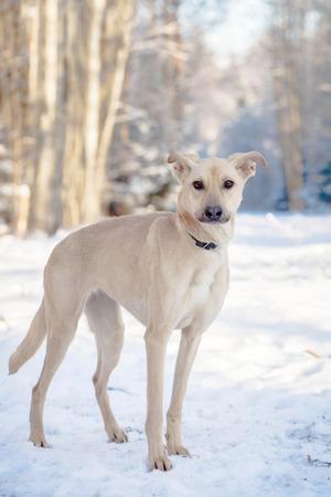 blithe: Red mixed breed dog standing on the snow