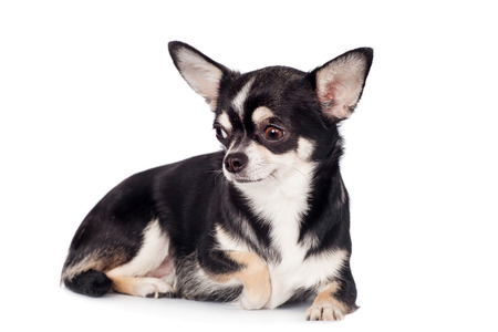 2 years old: Chihuahua, 2 years old, sitting and looking at camera against white background