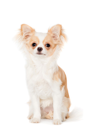 longhaired: Chihuahua, 3 years old, isolated on the white background