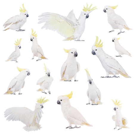bird beaks: Sulphur-crested Cockatoo, Cacatua galerita, isolated over white background