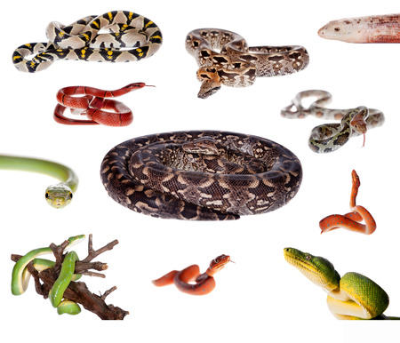 Collection of snakes isolated on the white background