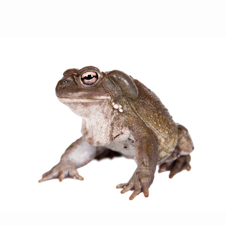 ugliness: toad (Incilius alvarius) on white