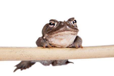 jag: toad (Incilius alvarius) on white