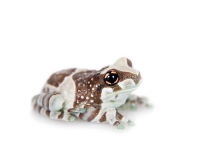 Amazon Milk Frog, Trachycephalus resinifictrix, isolated on white background photo