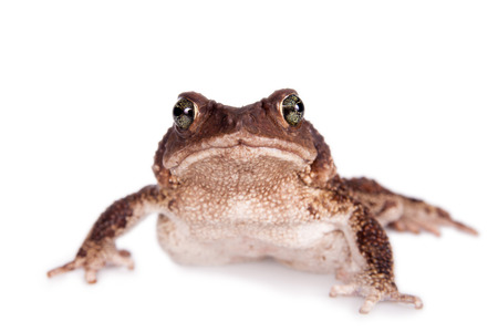 ugliness: The Colorado River or Sonoran Desert toad, Incilius alvarius on white Stock Photo