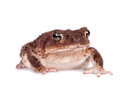 jag: The Colorado River or Sonoran Desert toad, Incilius alvarius on white Stock Photo